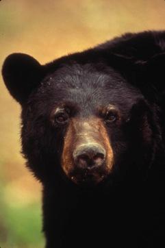 blackbearusfw5